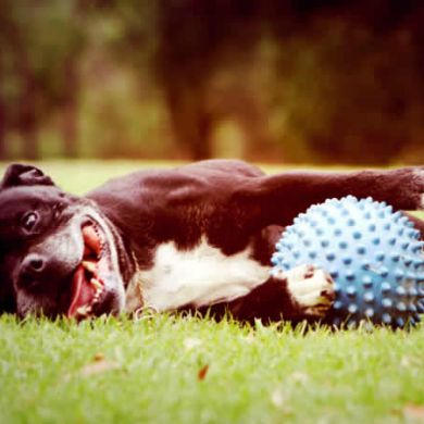 thumb_aussie-dog-mitch-ball-blue-staffie_adaptiveResize_390_390.jpg