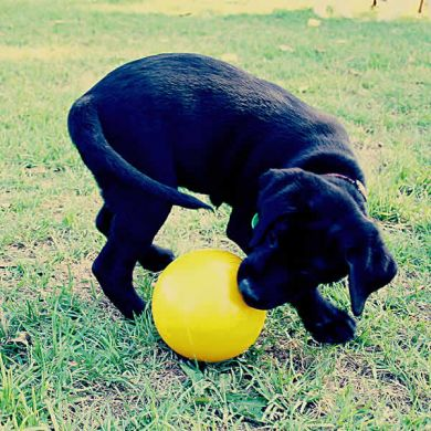 thumb_aussie-dog-tucker-ball-lab_adaptiveResize_390_390.jpg